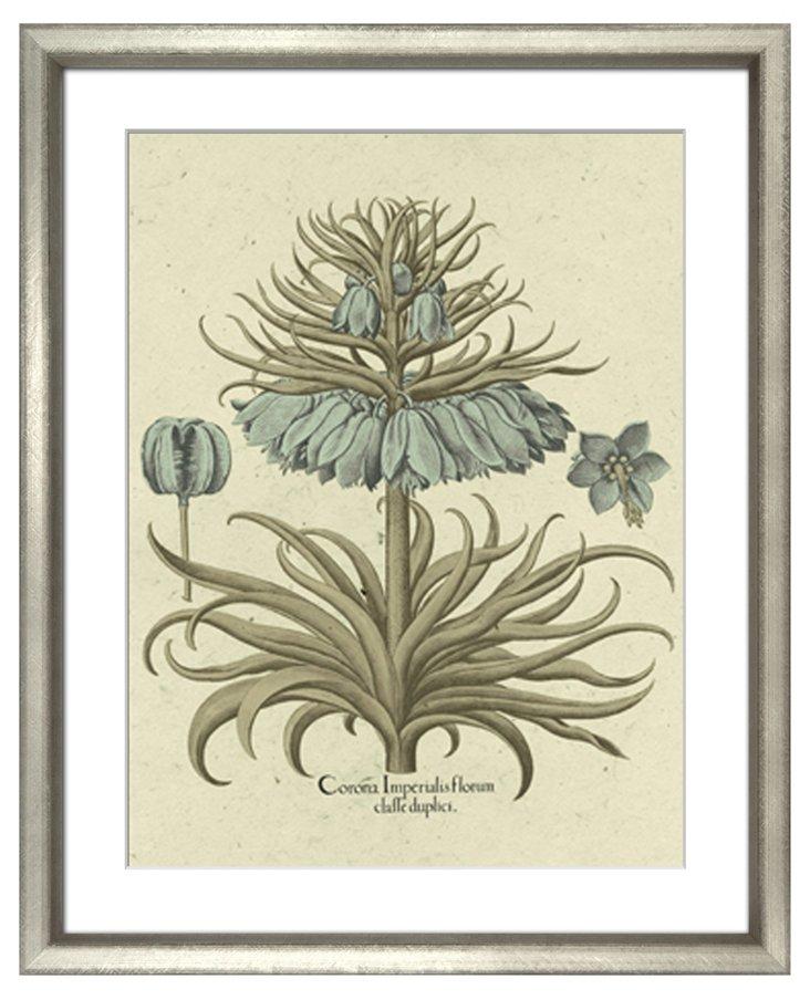 Basilius Besler, Botanical I 1613