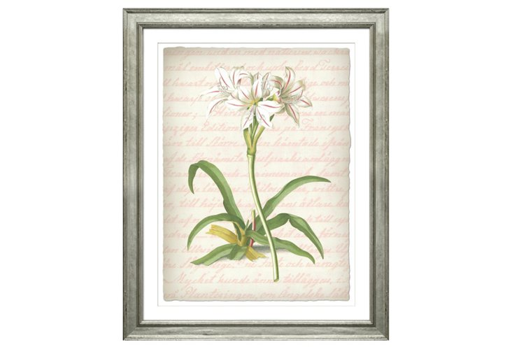 George Ehret, Belladonna Lily 1750