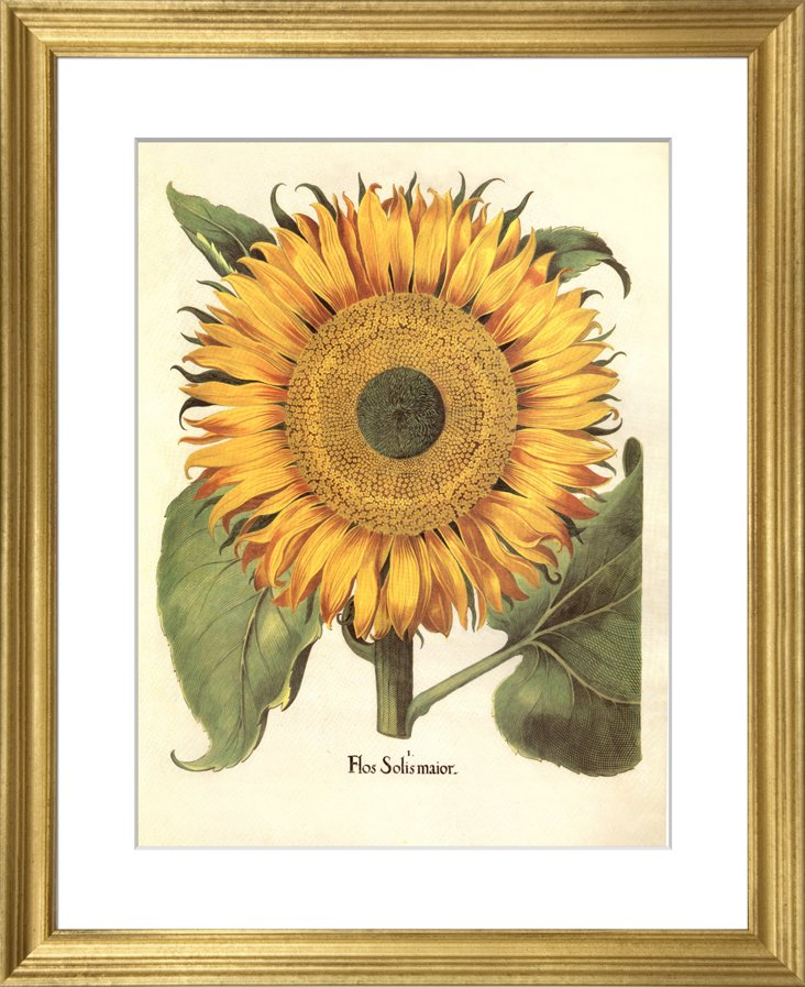 Basilius Besler, Sunflower