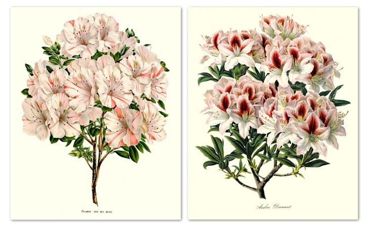 Azalea 1865 I