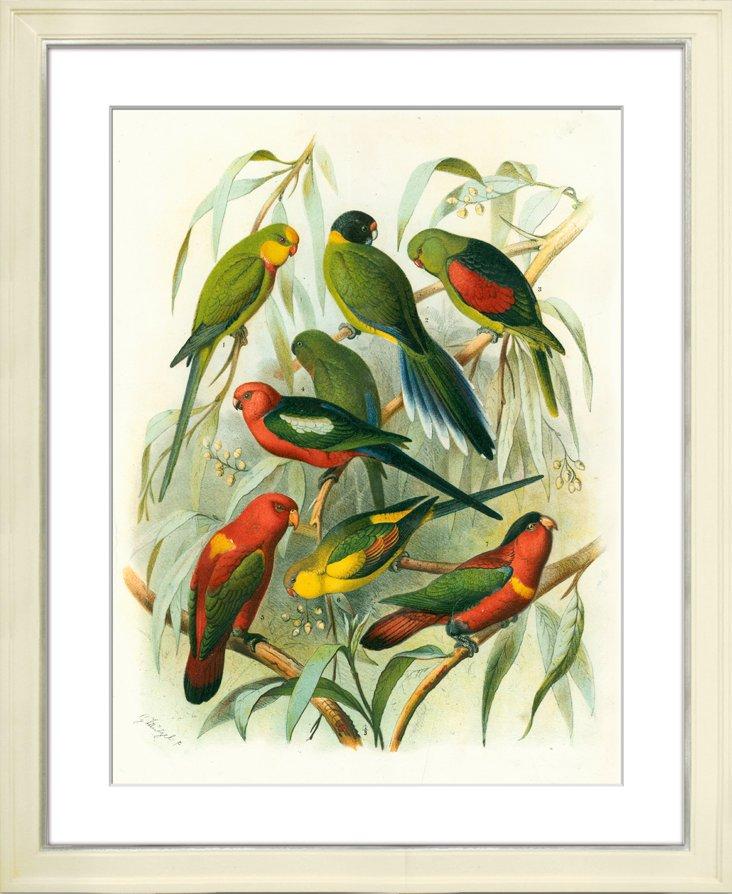 Fischer Parrots IV