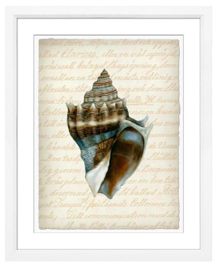 Shell, Melongenidae