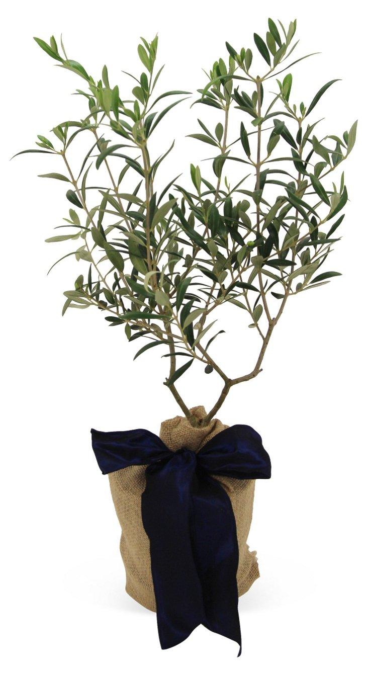 """10"""" Olive Tree, Live"""