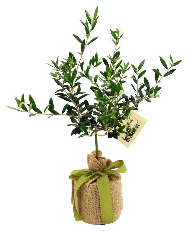 """16"""" Olive Tree, Live"""