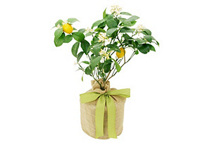 "24"" Meyer Lemon Tree, Live*"