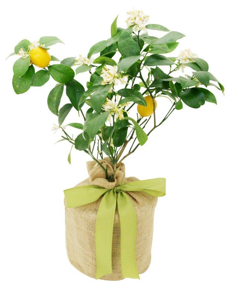 "24"" Meyer Lemon Tree, Live"