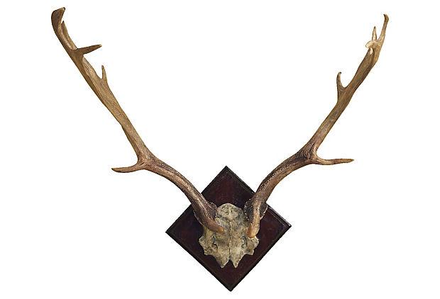 Fallow Deer Antler Mount