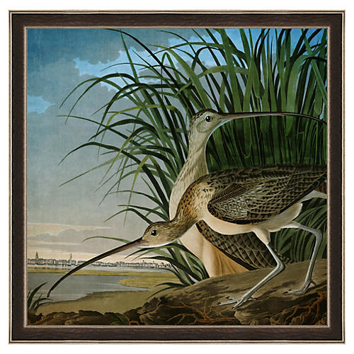 John James Audubon, Curlew