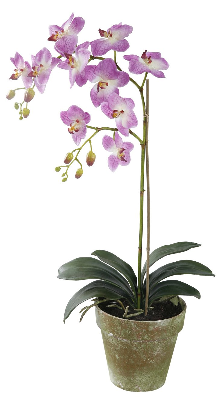 Orchid Phalaenopsis in Pot, Large