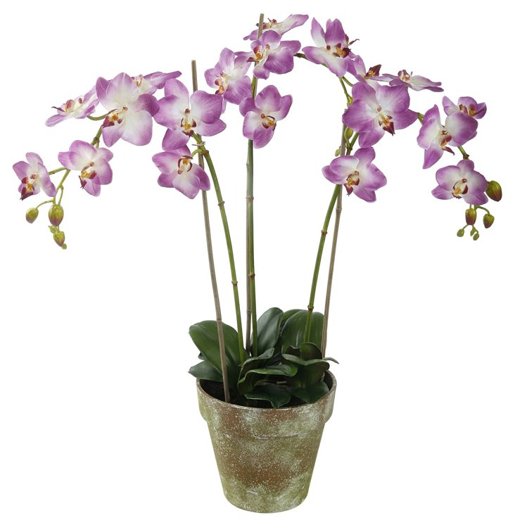 "19"" Phalaenopsis in Pot, Purple"