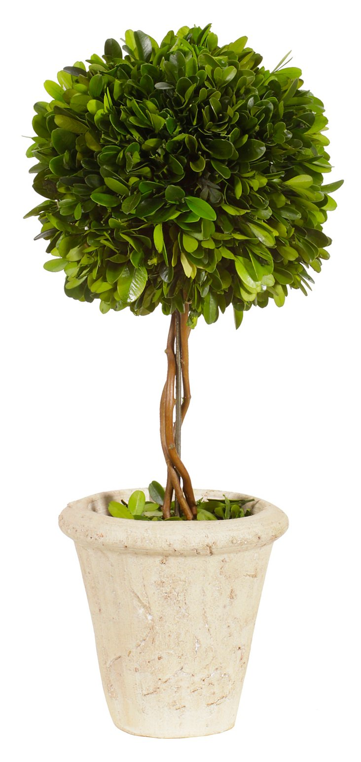 """16"""" Boxwood Topiary in Pot, Preserved"""