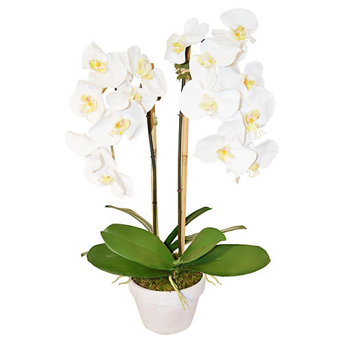 "26"" Phalaenopsis in Planter, White"