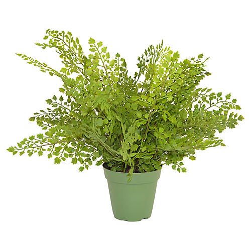 "15"" Maidenhair Fern Plant, Faux"