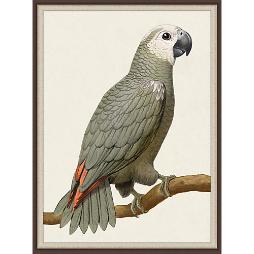 Gray Parrot 1, Lillian August