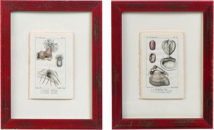 18th-C. Shell  Engravings, Pair