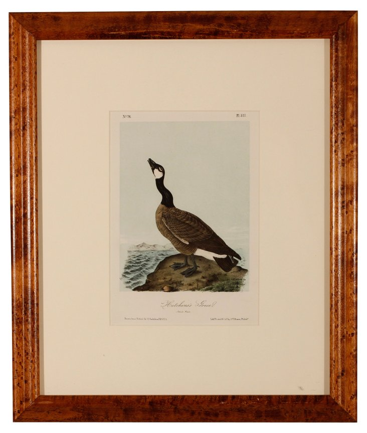 Audubon Hutchinson's Goose Print