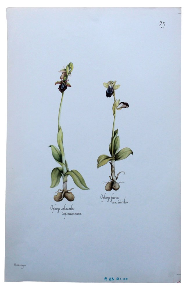 Floral  Print by E. Megaw