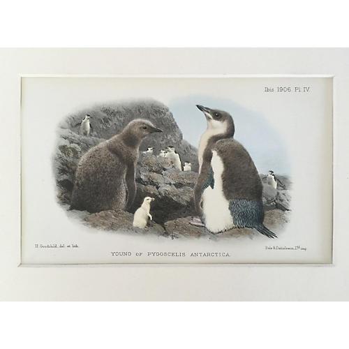 Antique Print of Penguin's