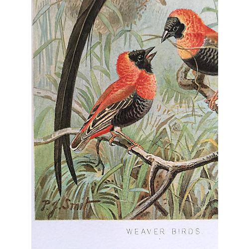 Antique Lithograph Exotic Weaver Bird