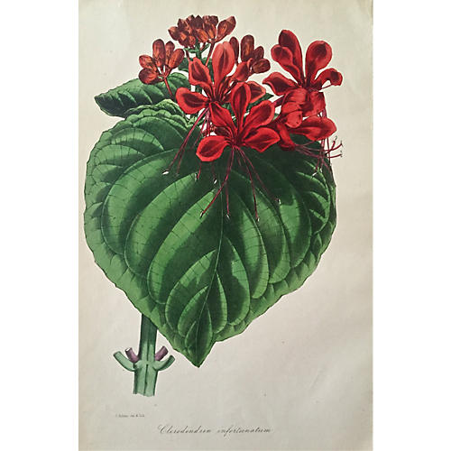 Botanical Lithograph Clerodendrum C.1890