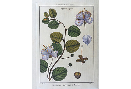 Antique Botanical Hand-Colored Etching