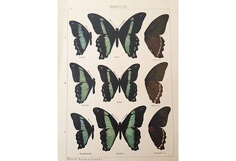 Butterfly Specimen Lithograph, 1910