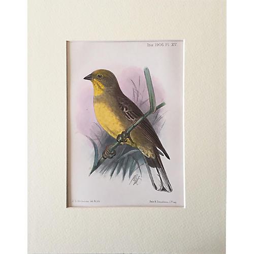 Antique Ornithological Print