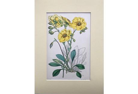 Botanical Lithograph