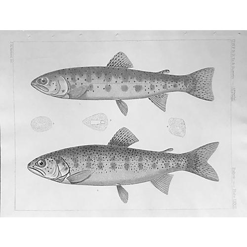 19th-C. Lithograph of American Trouts