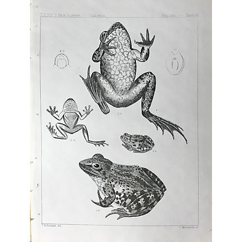 19th-C. California Frog Lithograph