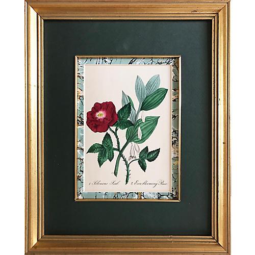 Ever Blooming Rose Print, C. 1900
