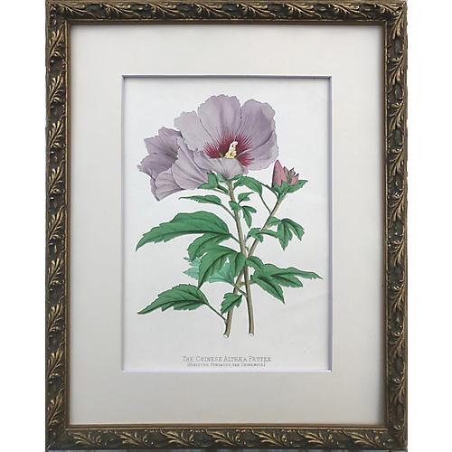 Antique Chinese Hibiscus Botanical Print