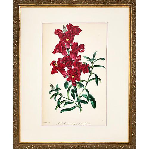 19th-C. Snapdragon Botanical Print