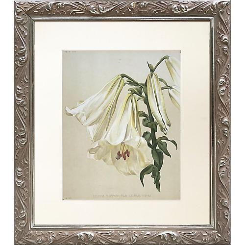 19th-C. English Lily Print
