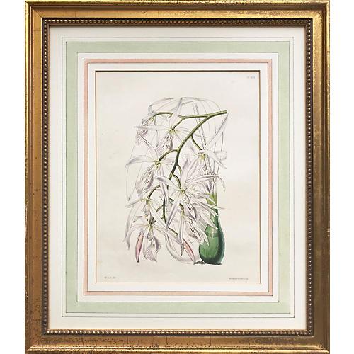Antique Lithograph Botanical of Orchids
