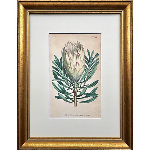 18th-C. William Curtis Artichoke Print