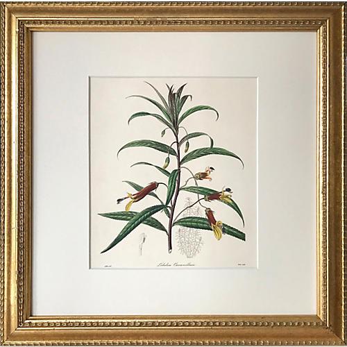 19th-C. Mexican Lobelia Botanical Print