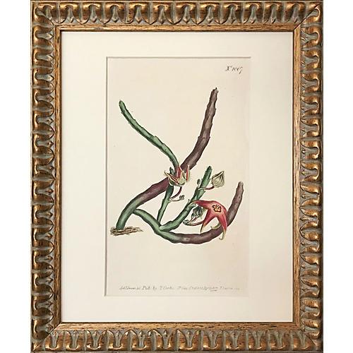 19th-C Thomas Curtis Botanical Engraving