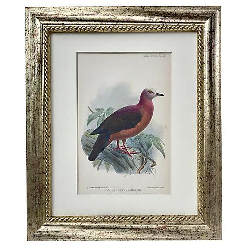 Antique Ornithological Bird Lithograph
