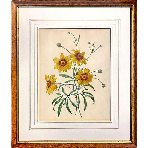 19th C. Botanical Watercolor of Daisies
