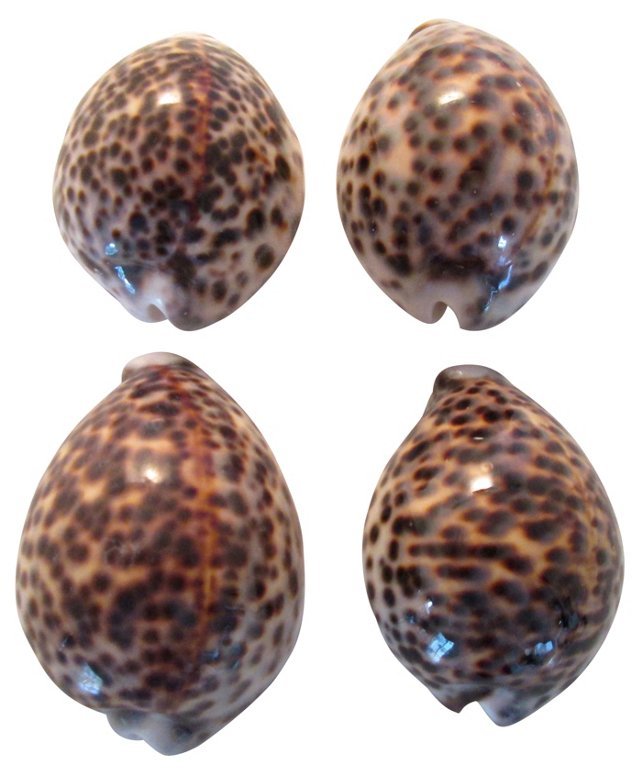 Cowrie Shells, S/4
