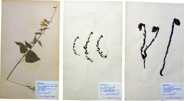 Swedish Dried Tallort Flowers, S/3
