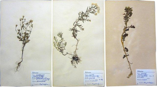 Swedish  Dried   Botanicals, S/3