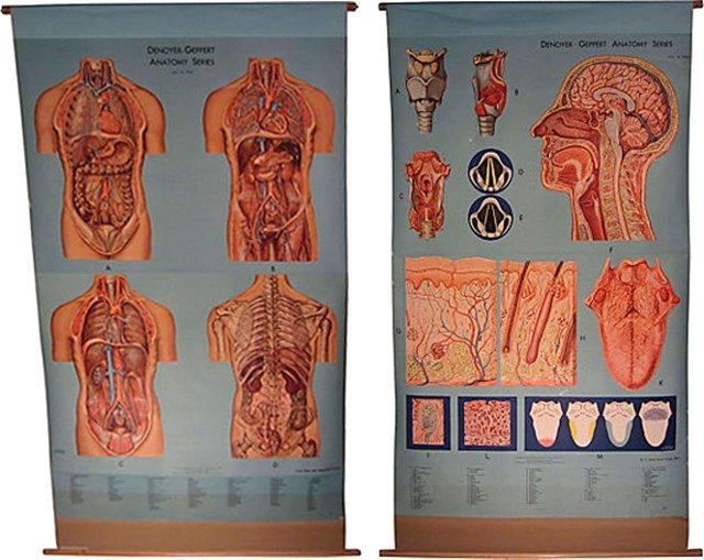 Anatomy Charts, Pair