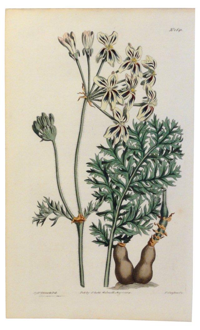 Geranium Botanical Print, 1814