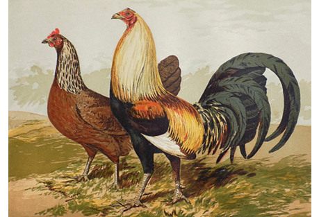 Chickens & Game Fowl, 1878