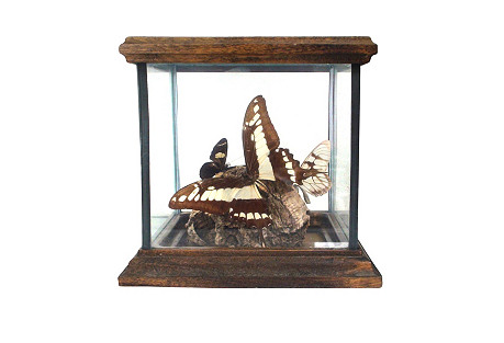 19th-C. Wunderkamer Butterfly Display