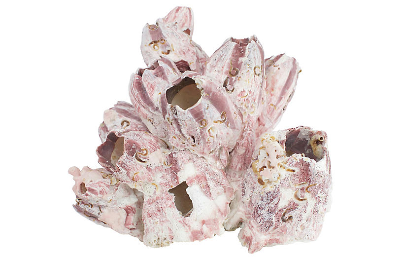 Natural Barnacle Cluster