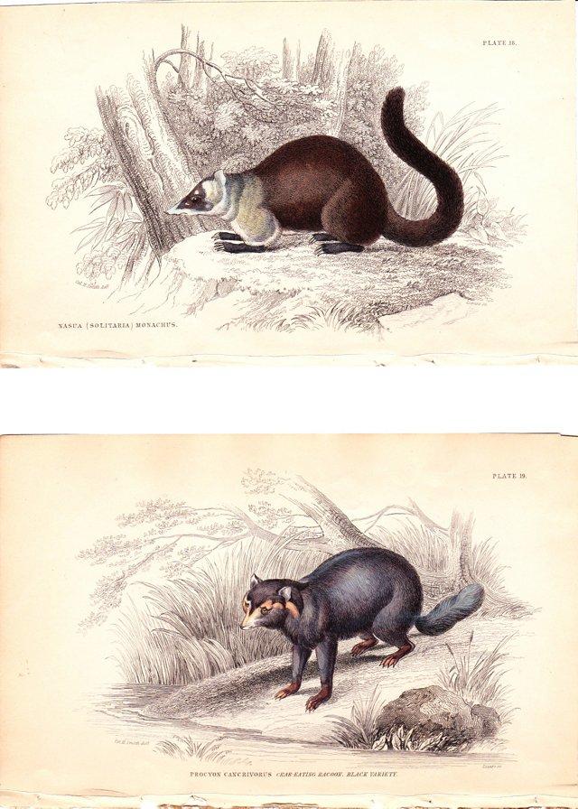 Mammal Prints by Jardine, 1843, Pair