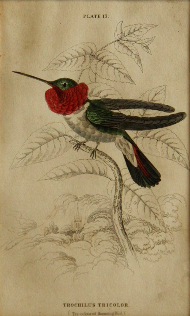 Tri-Colored Hummingbird, 1843